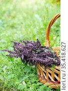 Spicy basil branches lie in the wicker basket. Стоковое фото, фотограф Володина Ольга / Фотобанк Лори