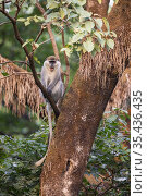Vervet monkey (Chlorocebus pygerythrus) giving alarm call, sitting in tree in church forest. Church forests remain largely intact within a degraded landscape... Стоковое фото, фотограф Bruno D'Amicis / Nature Picture Library / Фотобанк Лори