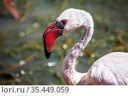 Lesser flamingo. Стоковое фото, фотограф Art Konovalov / Фотобанк Лори