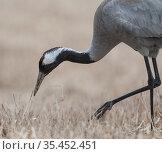 Common crane (Grus grus) male feeding on worms. Joutsa, Finland. April. Стоковое фото, фотограф Jussi Murtosaari / Nature Picture Library / Фотобанк Лори