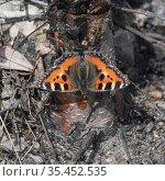 Small tortoiseshell butterfly (Aglais urticae) feeding on Birch (Betula sp) sap. Jyvaskyla, Finland. April. Стоковое фото, фотограф Jussi Murtosaari / Nature Picture Library / Фотобанк Лори