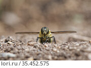 Downland villa bee fly (Villa cingulata) filling her sand chamber at the entrance to a rabbit burrow to coat her eggs in sand, chalk grassland slope, near Bradford on Avon, Wiltshire, UK, June. Стоковое фото, фотограф Nick Upton / Nature Picture Library / Фотобанк Лори