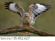Buzzard (Buteo buteo) landing on branch in winter, Lorraine, France, February. Стоковое фото, фотограф Michel Poinsignon / Nature Picture Library / Фотобанк Лори