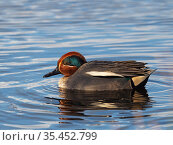 Common teal (Anas crecca) male in a pool, from Lookout Hide, Greylake RSPB reserve, near Greylake, Somerset Levels and Moors, Somerset, England, UK, February. Стоковое фото, фотограф Mike Read / Nature Picture Library / Фотобанк Лори