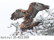 Golden eagle (Aquila chrysaetos) pair mating in snow covered tree. Kuusamo, Finland. February. Стоковое фото, фотограф Markus Varesvuo / Nature Picture Library / Фотобанк Лори