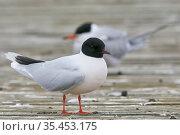 Little gull (Hydrocoloeus minutus), Common tern (Sterna hirundo) in background. Vaala, Finland. June. Стоковое фото, фотограф Markus Varesvuo / Nature Picture Library / Фотобанк Лори