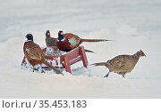 Pheasant (Phasianus colchicus) group feeding at trough. Kauhajoki, Finland. January. Стоковое фото, фотограф Markus Varesvuo / Nature Picture Library / Фотобанк Лори