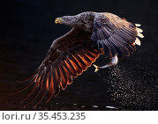 White-tailed eagle (Haliaeetus albicilla) flying over water with fish in talons. Norway. August. Стоковое фото, фотограф Markus Varesvuo / Nature Picture Library / Фотобанк Лори