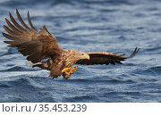 White-tailed eagle (Haliaeetus albicilla) in flight over sea. Norway. August. Стоковое фото, фотограф Markus Varesvuo / Nature Picture Library / Фотобанк Лори