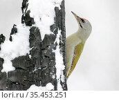 Grey-headed woodpecker (Picus canus) male on snow covered tree trunk. Kuhmo, Finland. February. Стоковое фото, фотограф Markus Varesvuo / Nature Picture Library / Фотобанк Лори