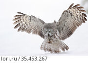 Great grey owl (Strix nebulosa) hunting over snow. Kuhmo, Finland. February. Стоковое фото, фотограф Markus Varesvuo / Nature Picture Library / Фотобанк Лори