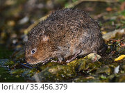 Water vole (Arvicola terrestris) at waters edge. Dorset, UK July. Стоковое фото, фотограф Colin Varndell / Nature Picture Library / Фотобанк Лори