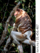 Proboscis monkey (Nasalis larvatus) male, Tanjung Puting National Park, Central Kalimantan, Borneo, Indonesia. Стоковое фото, фотограф Maxime Aliaga / Nature Picture Library / Фотобанк Лори