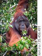 Bornean orangutan (Pongo pygmaeus) large flanged male, Tanjung Puting National Park, Central Kalimantan, Borneo, Indonesia. Стоковое фото, фотограф Maxime Aliaga / Nature Picture Library / Фотобанк Лори