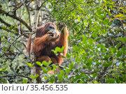 Flanged dominant male Tapanuli orangutan (Pongo tapanuliensis) Batang Toru Forest , North Sumatra. Стоковое фото, фотограф Maxime Aliaga / Nature Picture Library / Фотобанк Лори