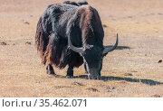 An Asian yak bull grazes in a mountain pasture. Стоковое фото, фотограф Олег Елагин / Фотобанк Лори