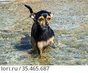 Маленькая собака стоит в воде. Стоковое фото, фотограф Вячеслав Палес / Фотобанк Лори