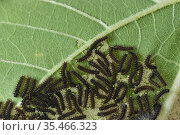 Bordered patch (Chlosyne lacinia) caterpillars feeding on Common sunflower (Helianthus annuus) leaf. Hill Country, Texas, USA. Стоковое фото, фотограф Rolf Nussbaumer / Nature Picture Library / Фотобанк Лори