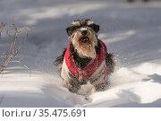 Цвергшнауцер бежит свозь снег. Стоковое фото, фотограф Михаил Панфилов / Фотобанк Лори