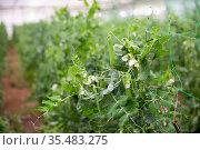 Image of seedlings of pea and soy growing in hothouse. Стоковое фото, фотограф Яков Филимонов / Фотобанк Лори
