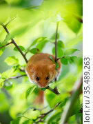 Hazel dormouse (Muscardinus avellanarius) sitting on branch in forest undergrowth. Abruzzo, Central Apennines, Italy. September. Стоковое фото, фотограф Bruno D'Amicis / Nature Picture Library / Фотобанк Лори