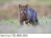 Wildcat (Felis silvestris) with rodent prey, Vosges, France, June. Стоковое фото, фотограф Fabrice Cahez / Nature Picture Library / Фотобанк Лори