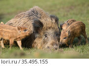 Wild boar (Sus scrofa) sow and her piglets. Forest of Dean, Gloucestershire, UK. March. Стоковое фото, фотограф Oscar Dewhurst / Nature Picture Library / Фотобанк Лори