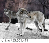 Couple of Eurasian wolves (Canis lupus lupus) in early spring. (Focus on head) Стоковое фото, фотограф Валерия Попова / Фотобанк Лори
