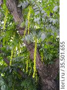 Лапина ясенелистная с зелеными соплодиями (Pterocarya fraxinifolia) Стоковое фото, фотограф Ирина Борсученко / Фотобанк Лори