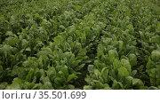 Closeup of fresh green Swiss chard growing on large plantation on spring day. Стоковое видео, видеограф Яков Филимонов / Фотобанк Лори