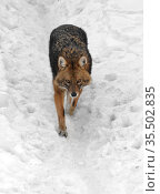 Golden jackal (Canis aureus) runs on snow in winter. Стоковое фото, фотограф Валерия Попова / Фотобанк Лори