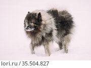 Funny Keeshond Dog Play Outdoor In Snow. Winter Season. Dog Training... Стоковое фото, фотограф Ryhor Bruyeu / easy Fotostock / Фотобанк Лори