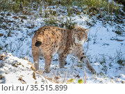 Eurasian lynx (Lynx lynx) female stretching in snow, captive, Bayerischer Wald / Bavarian Forest National Park, Germany. Стоковое фото, фотограф Franco Banfi / Nature Picture Library / Фотобанк Лори