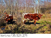 Pinzgauer Rind im Pfrunger Ried, Oberschwaben, Süddeutschland, Pinzgau... Стоковое фото, фотограф Zoonar.com/Jürgen Vogt / easy Fotostock / Фотобанк Лори