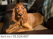 A young pure breed Irish Setter relaxes in a rare moment of quiet... Стоковое фото, фотограф Zoonar.com/Christopher Boswell / easy Fotostock / Фотобанк Лори