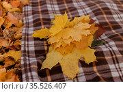 Кленовые листья лежат  на пледе. Стоковое фото, фотограф Крупнова Елена / Фотобанк Лори