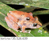 Amplexing pair of Kichwa rain frogs (Pristimantis kichwarum) in the rainforest understory at night, Yasuni National Park, Ecuador. Стоковое фото, фотограф Morley Read / Nature Picture Library / Фотобанк Лори
