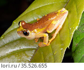 Sarayacu treefrog (Dendropsophus sarayacuensis) male, calling, with partially inflated vocal sac. Yasuni National Park, Ecuador, August 2018. Стоковое фото, фотограф Morley Read / Nature Picture Library / Фотобанк Лори
