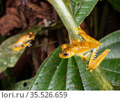 Blue-flanked treefrogs (Boana calcarata) perching in vegetation above a rainforest creek. Yasuni National Park, Ecuador. Стоковое фото, фотограф Morley Read / Nature Picture Library / Фотобанк Лори