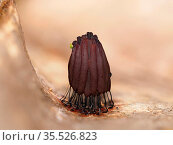 Slime mould (Stemonitis sp) fruiting sporangia on leaf, exhibiting rapid colour change from red to crimson, taken 20 minutes after previous photo. Buckinghamshire... Стоковое фото, фотограф Andy Sands / Nature Picture Library / Фотобанк Лори