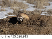 Black-footed ferret (Mustela nigripes) emerging from Prairie dog (Cynomys sp) burrow, hunting for prey. Colorado, USA. January. Стоковое фото, фотограф Charlie Summers / Nature Picture Library / Фотобанк Лори