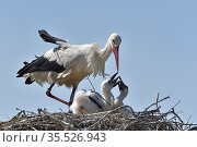 White stork (Ciconia ciconia) on the nest, with chicks, Vendeen Marsh, France, May. Стоковое фото, фотограф Loic Poidevin / Nature Picture Library / Фотобанк Лори