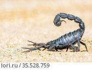 Africa, Namibia, Swakopmund, Dorob National Park, Black Hairy thick... Стоковое фото, фотограф Morales / age Fotostock / Фотобанк Лори