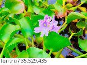 Wasserhyazinthe auf einem Teich - Water hyacinth flowers on a pond. Стоковое фото, фотограф Zoonar.com/LIANEM / easy Fotostock / Фотобанк Лори