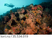Diver and Glomerate Tree Coral (Dendronephthya sp), Pelican Head ... Стоковое фото, фотограф Colin Marshall / age Fotostock / Фотобанк Лори