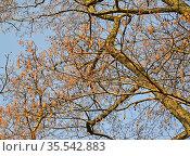 Ветви черной ольхи с сережками на фоне неба. Весна. Стоковое фото, фотограф Ирина Борсученко / Фотобанк Лори