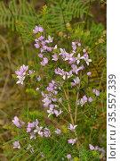 Hairy boronia (Boronia pilosa). Tasmania, Australia. November. Стоковое фото, фотограф Dave Watts / Nature Picture Library / Фотобанк Лори