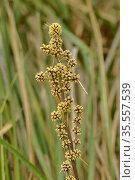 Spiny-head mat-rush (Lomandra longifolia). Tasmania, Australia. December. Стоковое фото, фотограф Dave Watts / Nature Picture Library / Фотобанк Лори