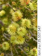 Prickly bottlebrush (Callistemon viridiflorus). Tasmania, Australia. November. Стоковое фото, фотограф Dave Watts / Nature Picture Library / Фотобанк Лори