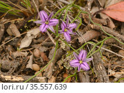 Twining fringe lily (Thysanotus patersonii). Tasmania, Australia. October. Стоковое фото, фотограф Dave Watts / Nature Picture Library / Фотобанк Лори